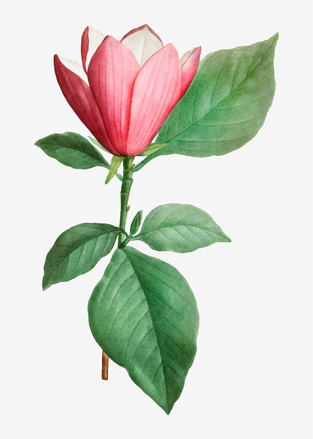 Japanese magnolia Free Vector