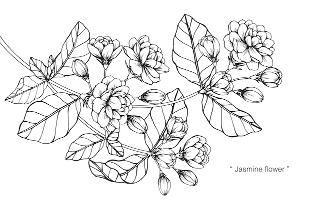 Line Drawing Jasmine Flower : Jasmine flower drawing illustration vector premium download