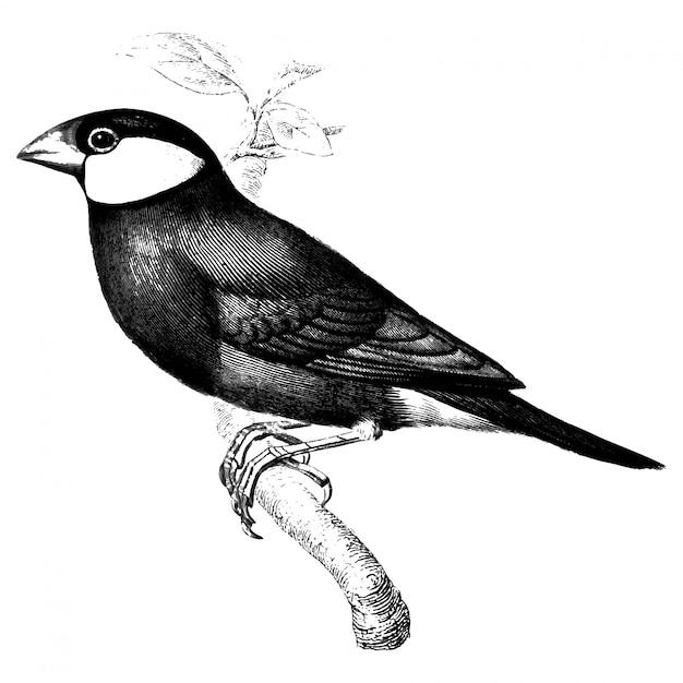 Java sparrowのヴィンテージイラスト 無料ベクター
