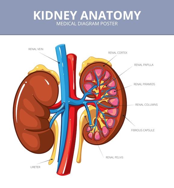 신장 의료 벡터 다이어그램 포스터입니다. 내부 장기, 동맥 및 관, 혈관 및 요관, 계획 그림 무료 벡터