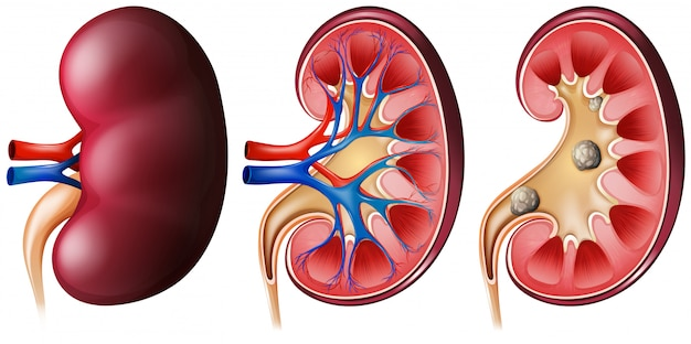 Kidney set on white Free Vector