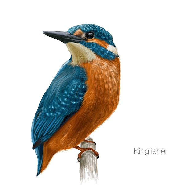 Kingfisher bird illustration Premium Vector