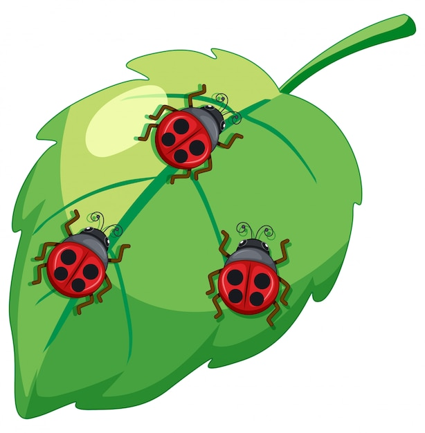 Ladybug, lady bettle insects on a leaf Free Vector