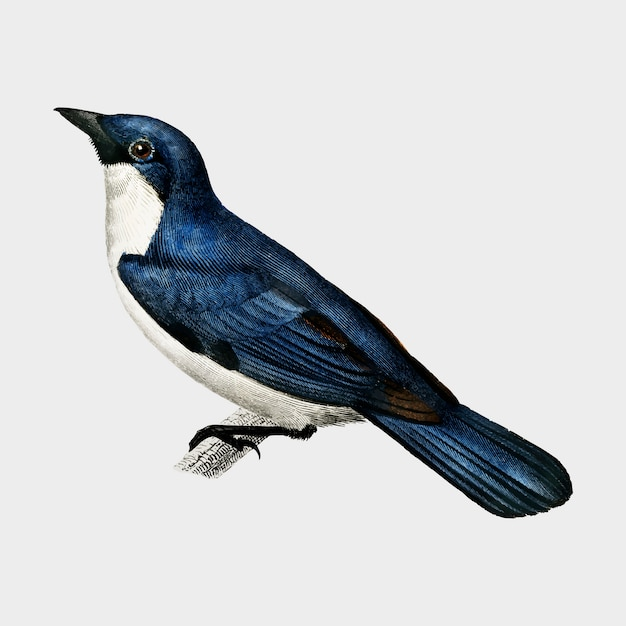 Lanius bicolor illustrated by charles dessalines d'orbigny (1806-1876). Free Vector