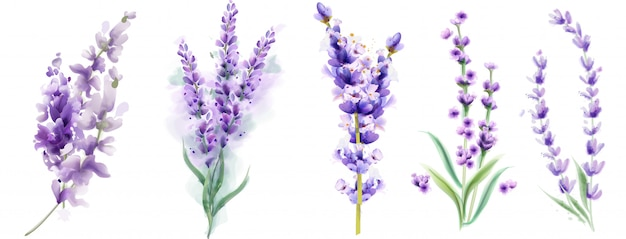 Lavender set watercolor. beautiful floral bouquets isolated Premium Vector