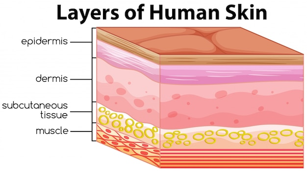 Layers of human skin concept Premium Vector