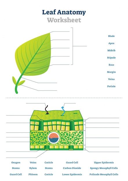 Leaf anatomy worksheet illustration | Premium Vector