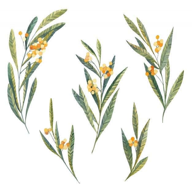 잎과 꽃 노랑, 미모사, 식물 잎과 열매는 흰색 바탕에 수채화 프리미엄 벡터
