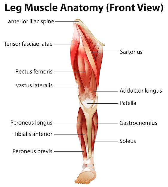 Anatomia dei muscoli delle gambe (vista frontale) Vettore gratuito