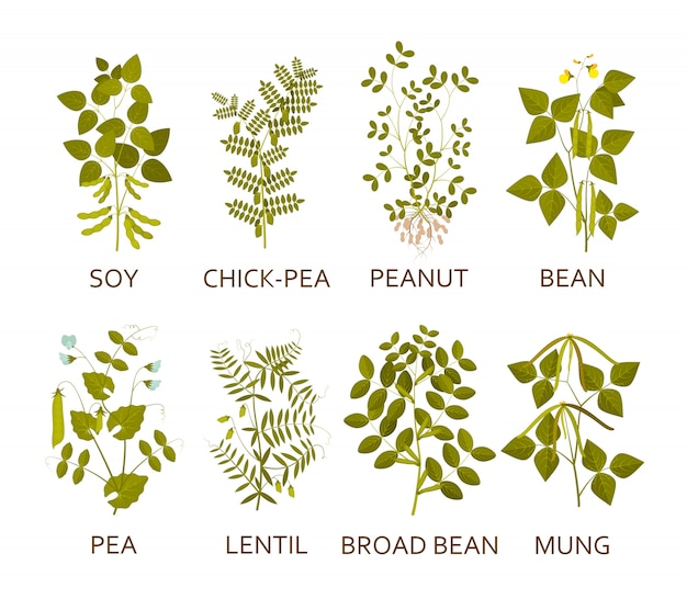 Legumes plants with leaves, pods and flowers.  illustration. Premium Vector