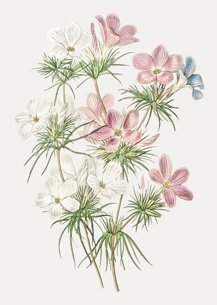 Leptosiphon flower Free Vector