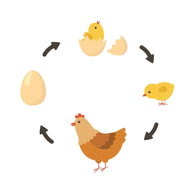 Life cycle of the chicken Premium Vector