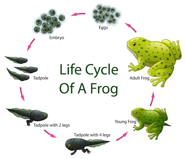Life cycle of frog Premium Vector
