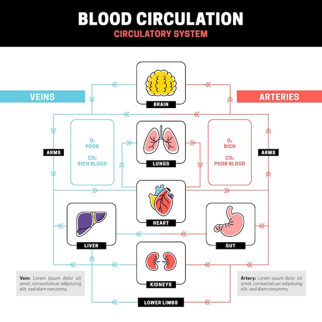 Linear circulatory system infographic Free Vector