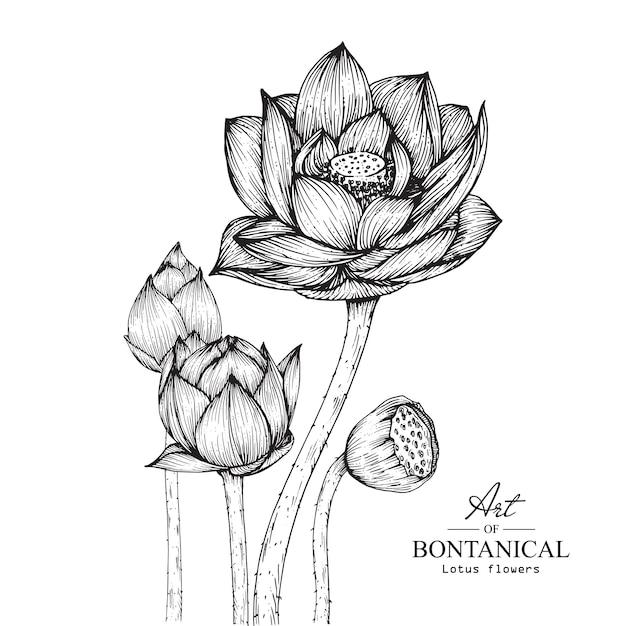 Lotus Flower Drawings Vector Premium Download