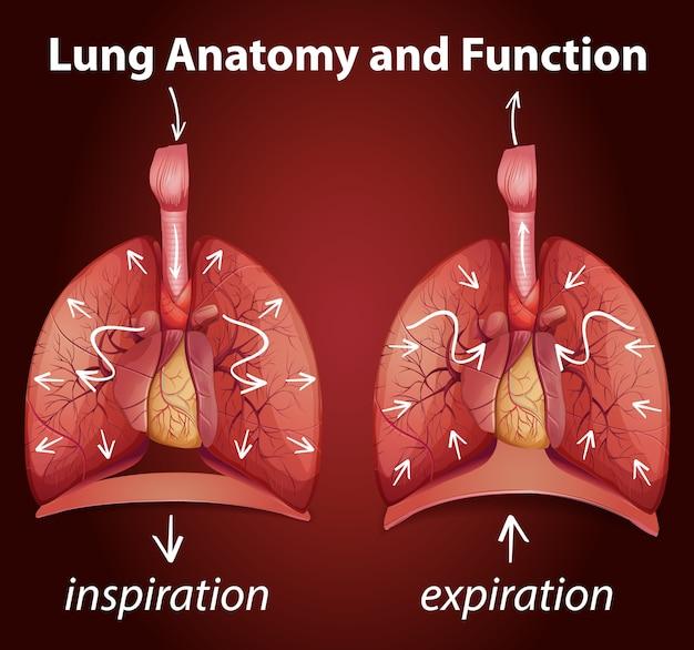 Анатомия и функции легких для обучения Бесплатные векторы
