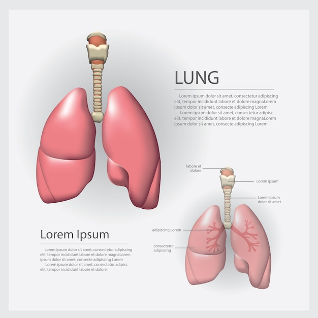 Lung with detail vector illustration Premium Vector
