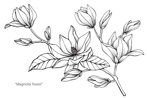 Magnolia flower drawing illustration vector premium download magnolia flower drawing illustration premium vector maxwellsz