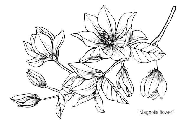 Magnolia flower drawing illustration Premium Vector