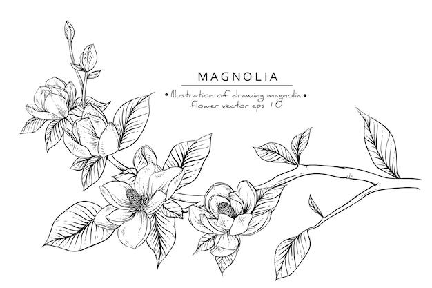 Magnolia Flower Drawings Vector Premium Download