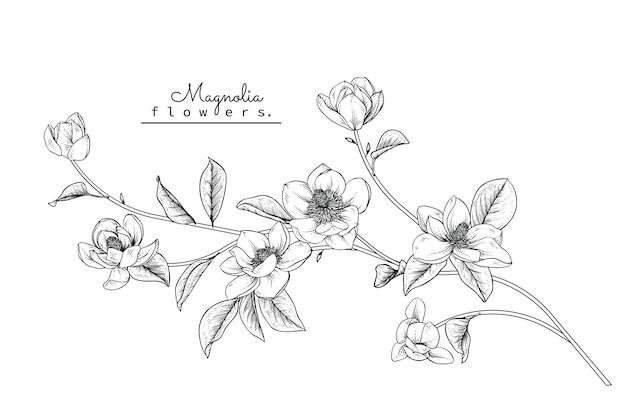 Magnolia leaf and flower drawings Premium Vector