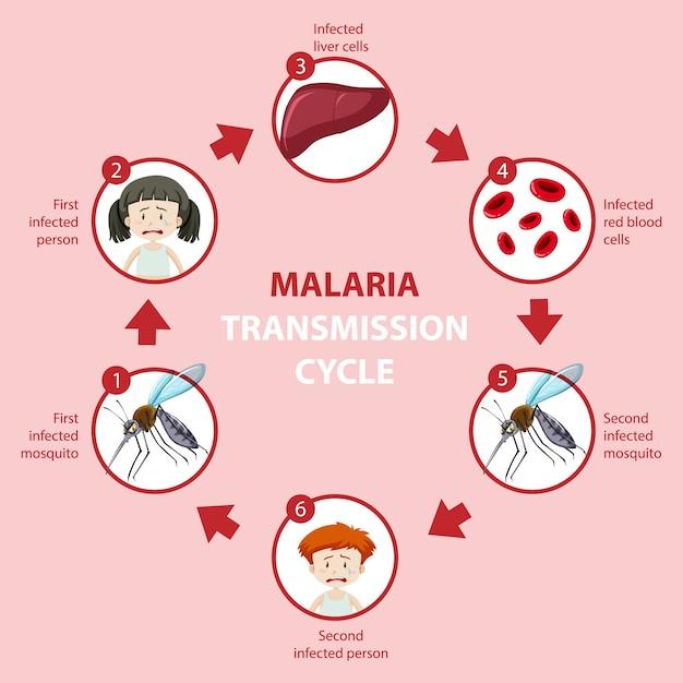 Malaria Transmission Cycle And Symptom