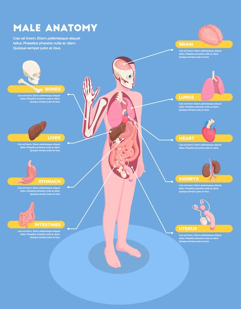 Male anatomy infographics with internal organs icons 3d isometric Free Vector