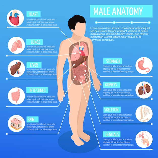 Male anatomy isometric illustration with infographic model of human body and description of internal organs Free Vector