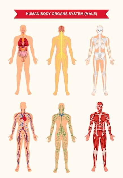 남성 신체 기관 시스템 포스터 프리미엄 벡터