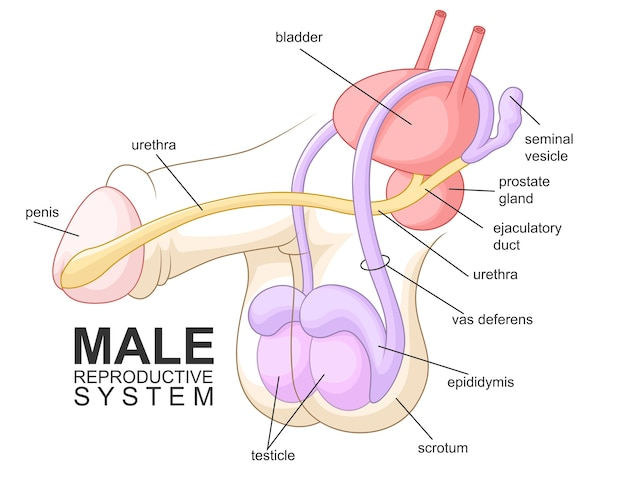Male reproductive system cartoon Vector | Premium Download