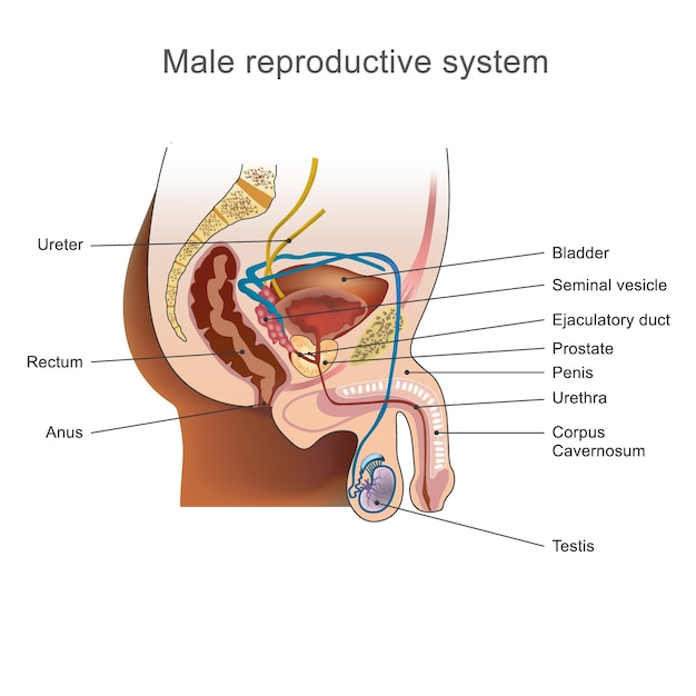 The male reproductive system. Premium Vector