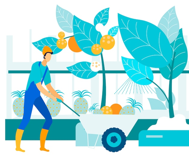 Man collects tropical fruits in greenhouse. vector Premium Vector
