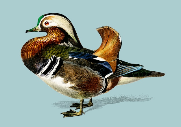 Mandarin duck (aix galericulata) illustrated by charles dessalines d'orbigny (1806-1876). Free Vector
