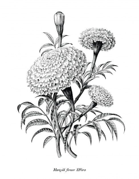 Marigold flower hand draw vintage style black and white clip art isolated Premium Vector