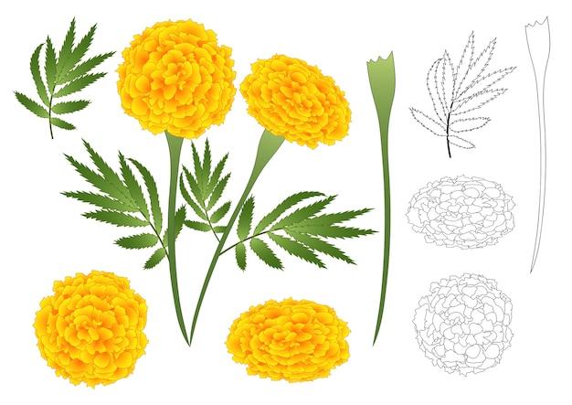 Marigold flower outline Premium Vector