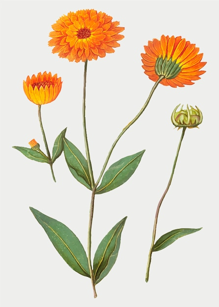 Marigold in vintage style Free Vector