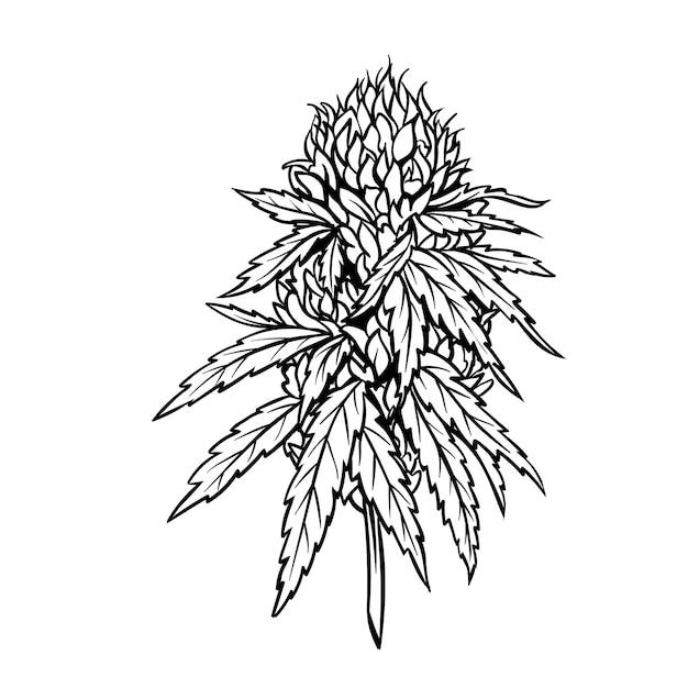 잎과 새싹이있는 마리화나 성숙한 식물. 프리미엄 벡터