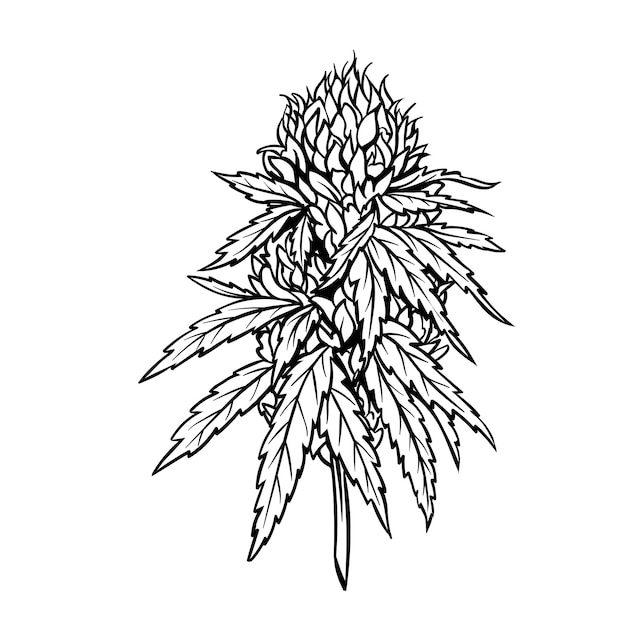Marijuana mature plant with leaves and buds. Premium Vector