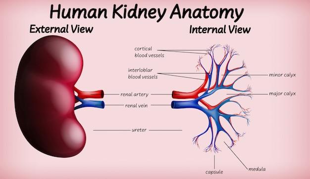 医療人間の腎臓の解剖学 無料ベクター