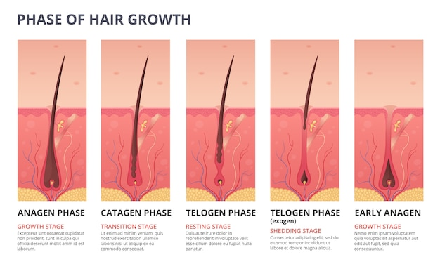 Medical infographic of hair growth cycle Premium Vector