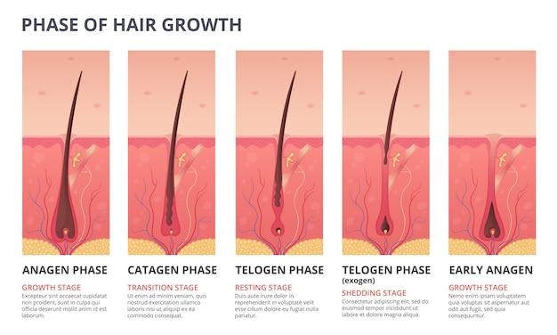 髪の成長サイクルの医療インフォグラフィック Premiumベクター