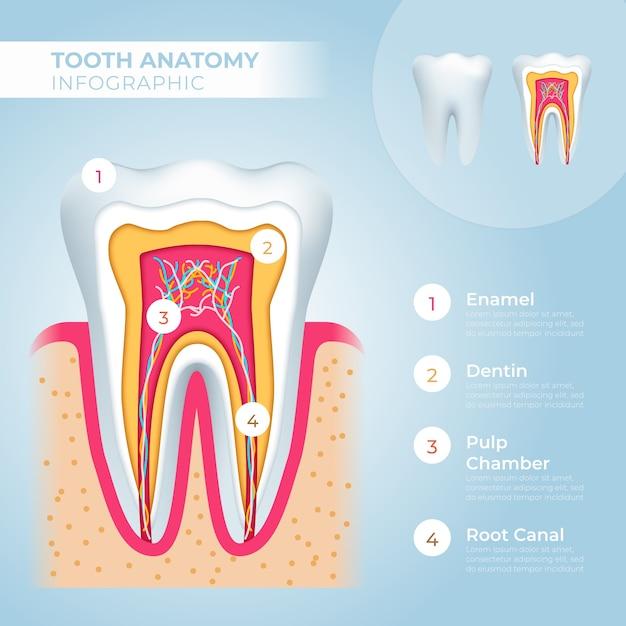 医療インフォグラフィックテンプレートと歯の解剖学 無料ベクター
