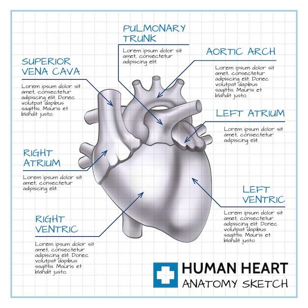 Концепция медицинского внутреннего органа с анатомией человеческого сердца на листе бумаги в стиле эскиза Бесплатные векторы