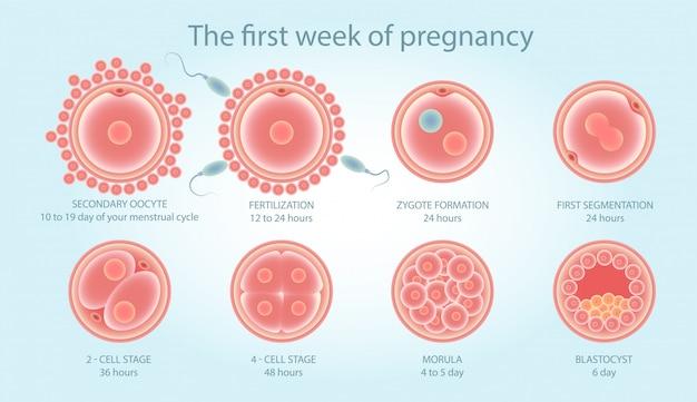 細胞分裂に関する医療ポスター。胎児の発達段階。 Premiumベクター