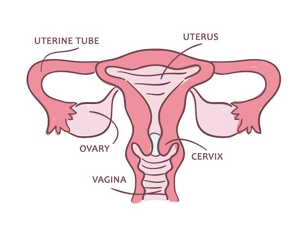 Медицинская схема женской репродуктивной системы. Premium векторы