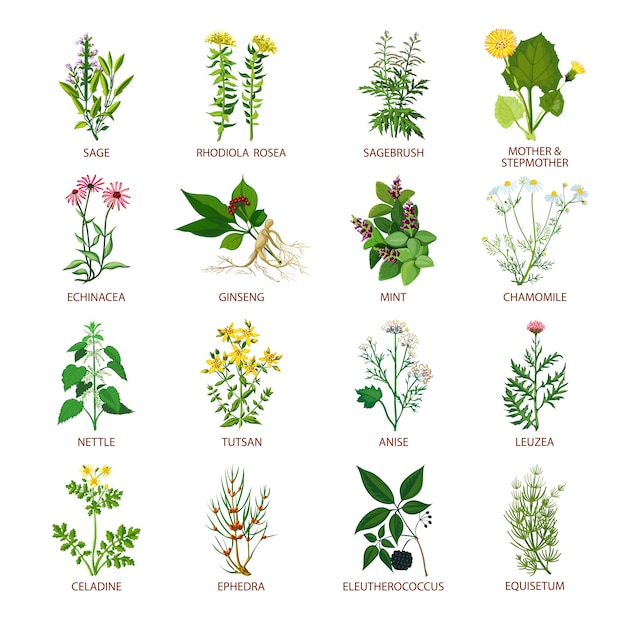 Lilies Types Of Leafs: Medicinal Herbs Icons Flat Vector