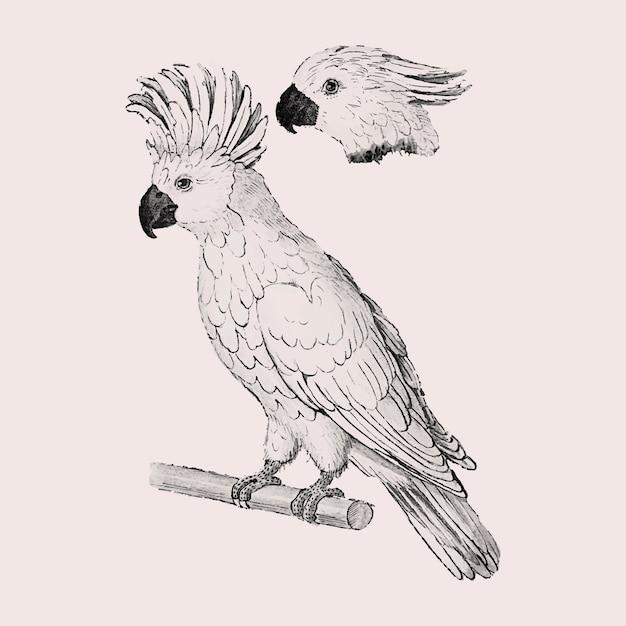Moluccan cockatooビンテージスタイル 無料ベクター