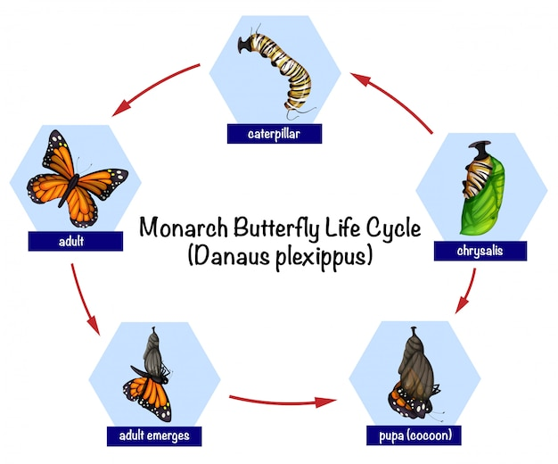Жизненный цикл бабочки монарха Premium векторы