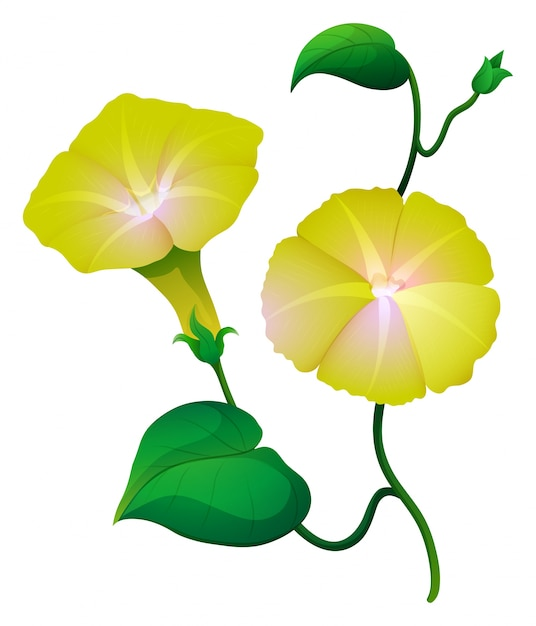 Morning glory flower in yellow color vector free download morning glory flower in yellow color free vector mightylinksfo