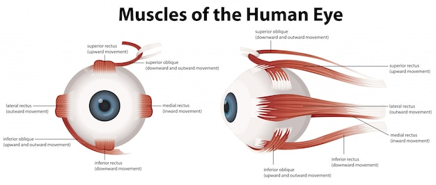Мышцы человеческого глаза Бесплатные векторы